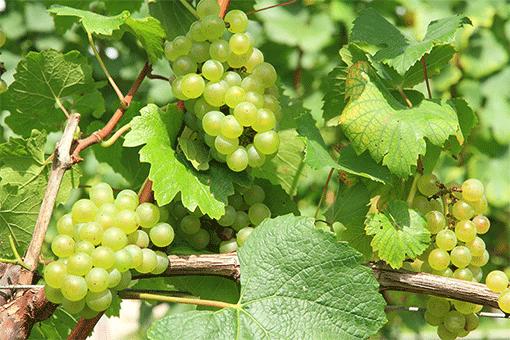イギリスの有名なブドウの品種【まとめ】